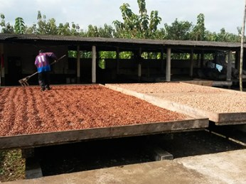 CacaoDrying