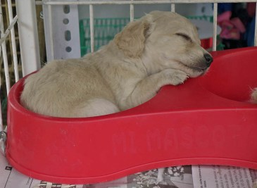 For Sale at the Feria Libre Mercado, a puppy awaits its fate.