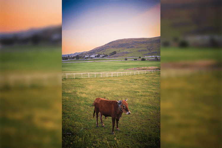 The Lonely Heifer