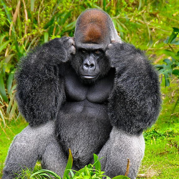 Gorila Pensando