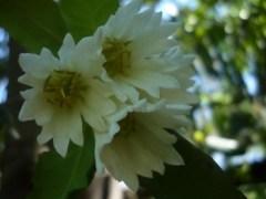 Flor del árbol de la canela