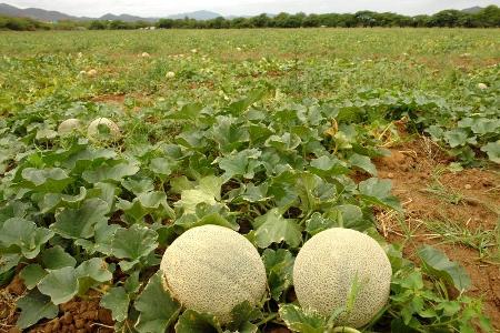 Cultivo de melón