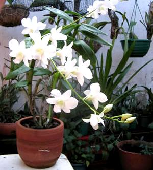 Azucena for Azucena plantas jardin