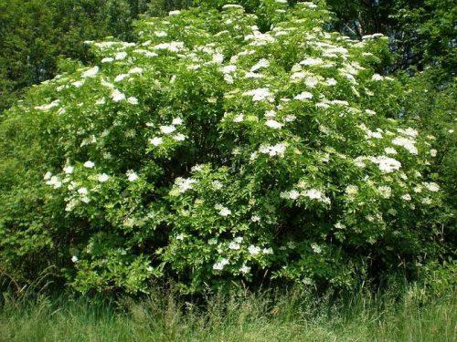 El arbusto de saúco, una planta beneficiosa para la salud