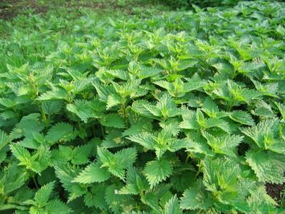 Ortiga, una fuente rica en vitaminas