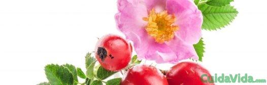rosa mosqueta escaramujo