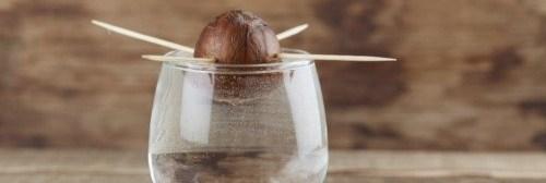 semilla-aguacate-palillos