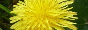 Gelée de fleurs de pissenlit (6)