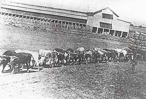 Bullock Wagon Tinnenburra carting wool, Cunnamulla History, Tinnenburra Station History, Bullock Wagons Cunnamulla, Bullockies Cunnamulla, Cully Fest