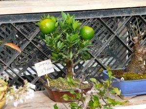 Bonsai desproporcional de frutas cítrica.
