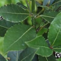 Bay Leaf - Laurus Nobilis