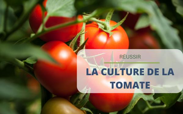 Culture de la tomate