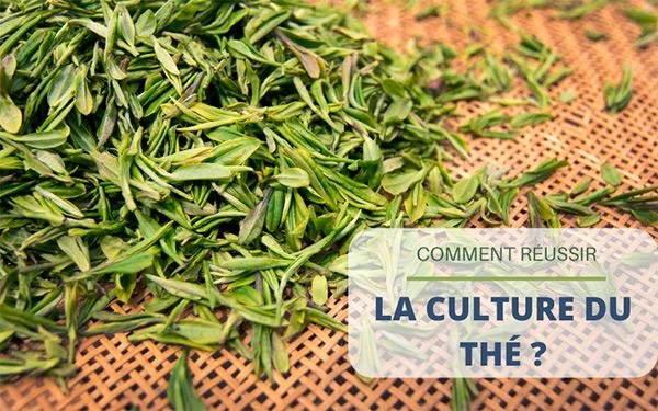 Comment réussir la culture du thé ?