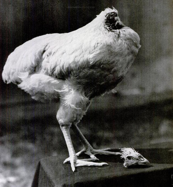 Mike the headless chicken lived 18 months without his head