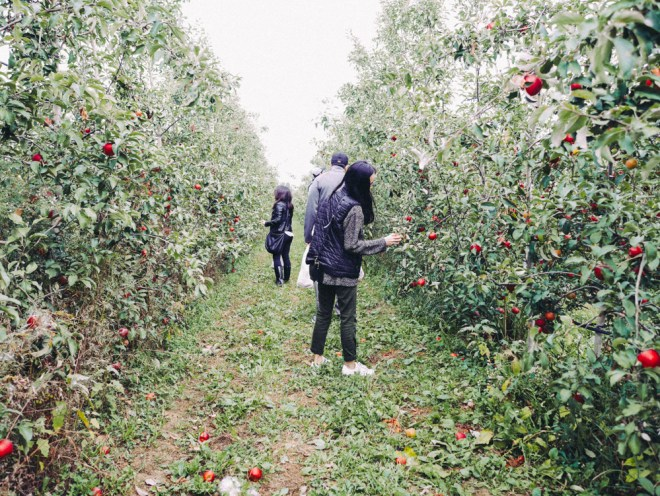 Apple Picking in NY