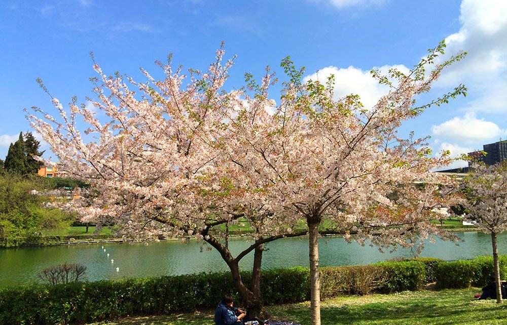 Hanami al giardino delle cascate delleur: la fioritura dei ciliegi
