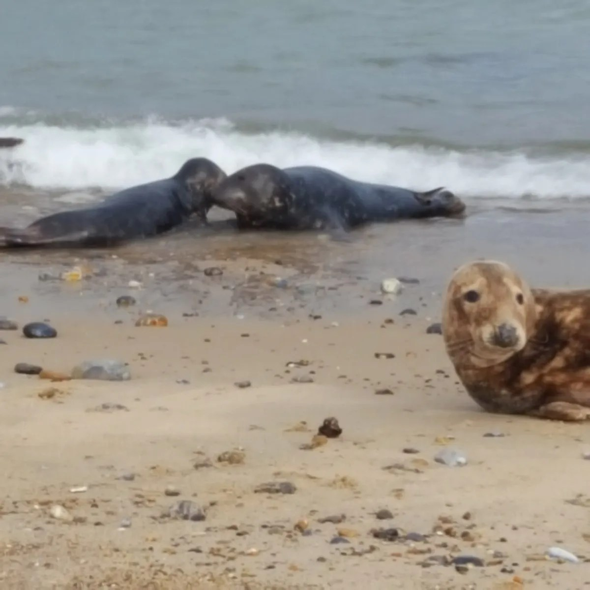 Two kissing seals and a baby seal at Horsey Gap Beach Norfolk