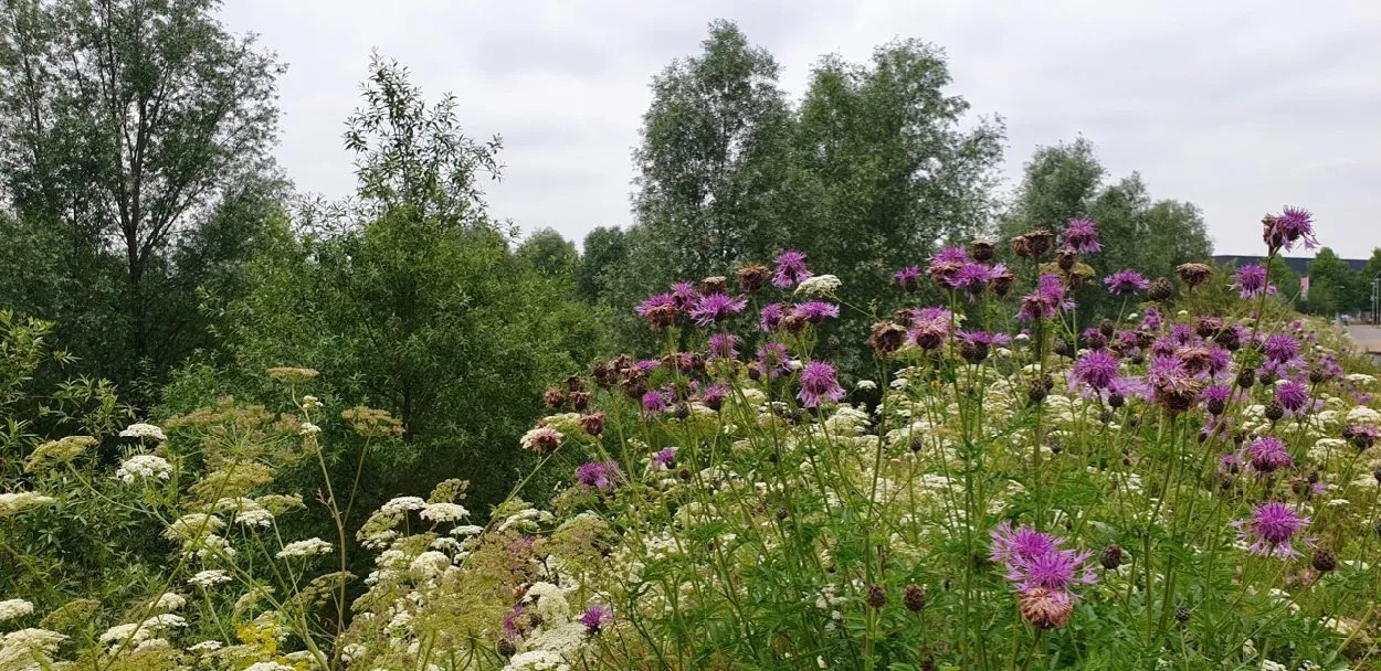 White and purple wild flowers at Olympic Park London