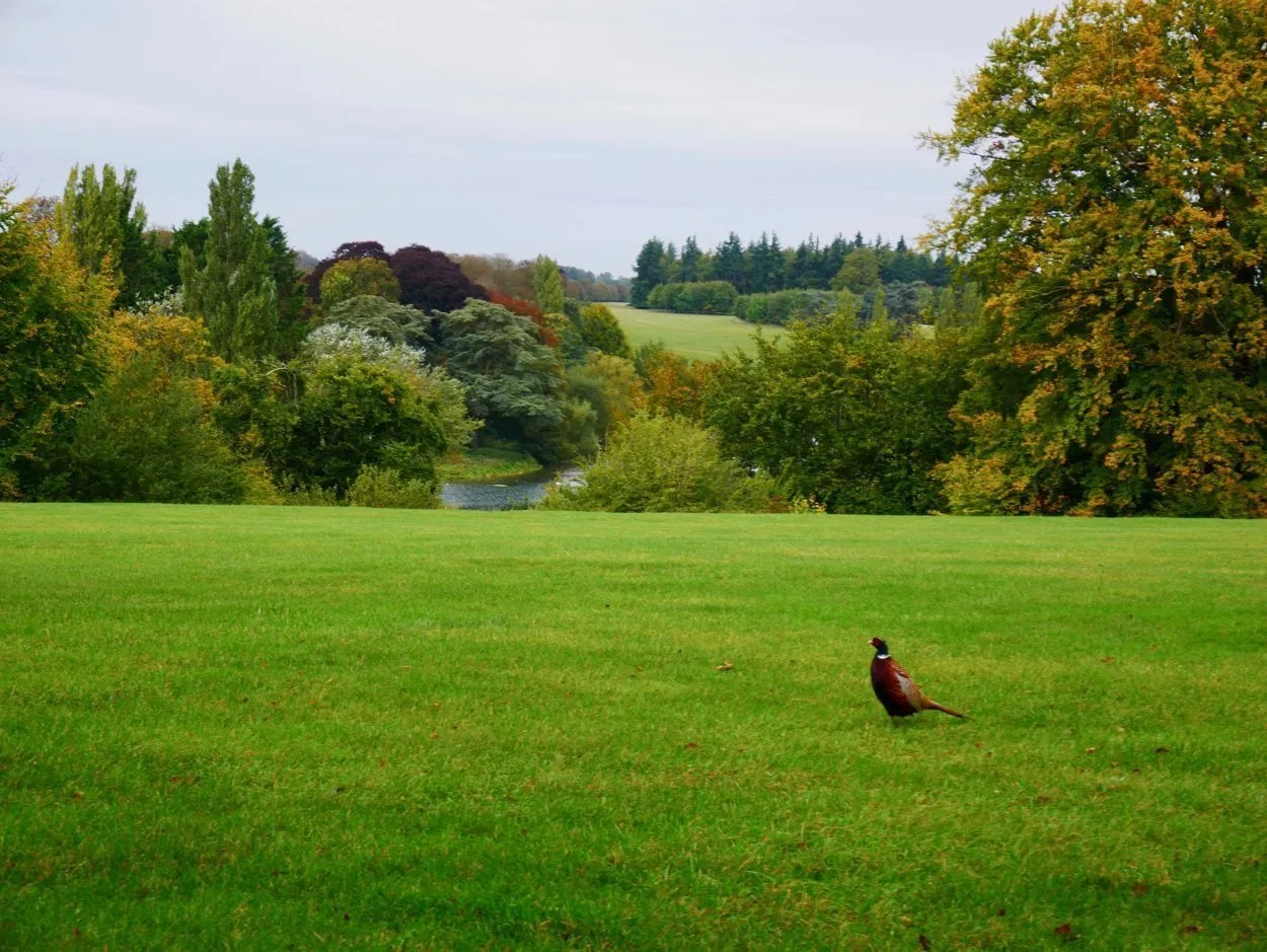 Pheasant in early autumn parkland