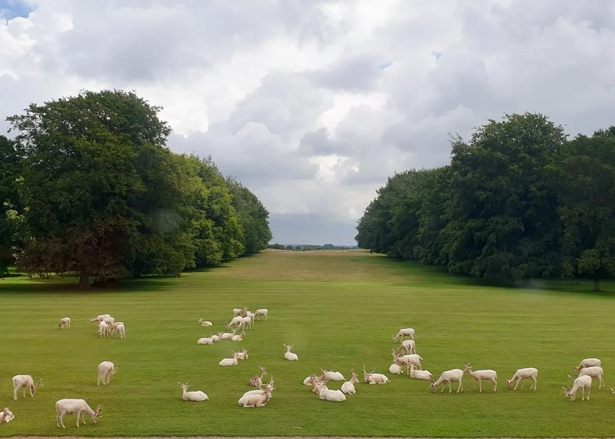 Houghton Hall white deer seen from the Stone Hall