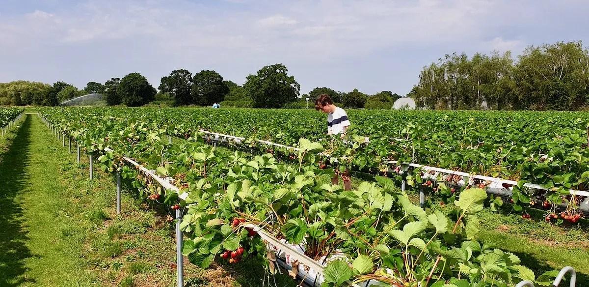 Boy picking Strawberries at PYO farm Surrey