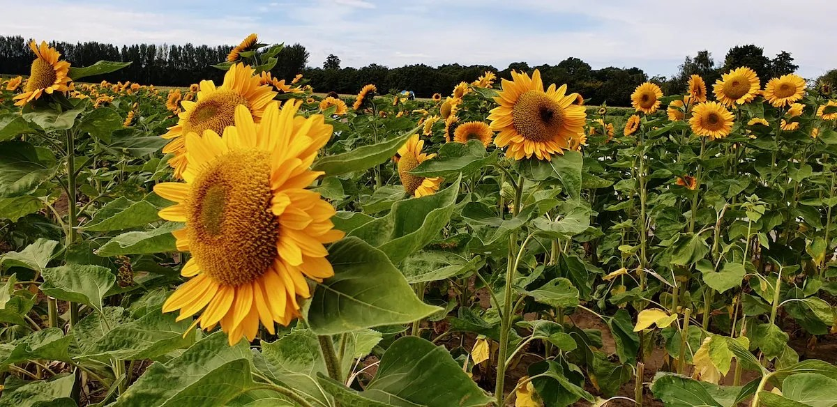 Sunflower Field Pick Your Own Surrey