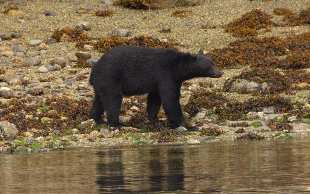 Observação de Ursos em Tofino na Ilha de Vancouver