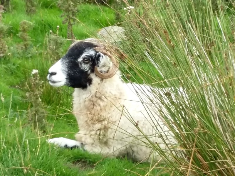 hadrian's wall sheep