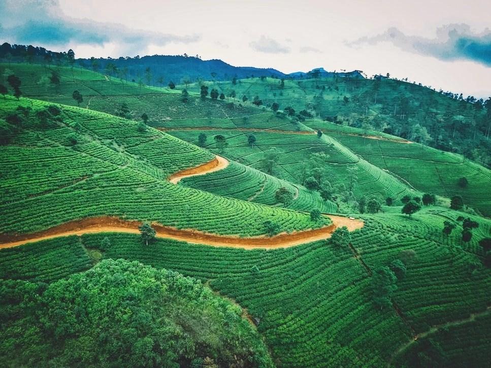 tea plantation ella sri lanka