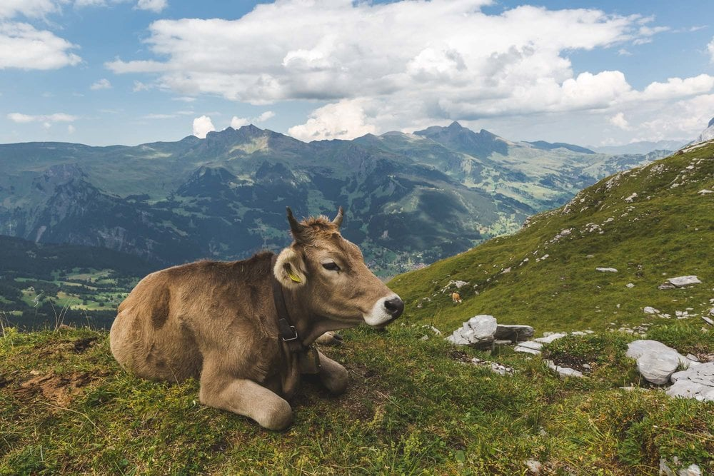 Swiss cowbells are famous in Grindelwald