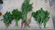 Récoltes de printemps : betteraves, persil, carottes et blettes