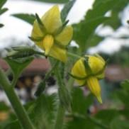 Fleurs de tomate