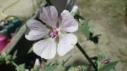 Fleur de guimauve