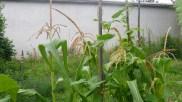 Maïs et haricots