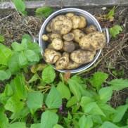 La récolte des pommes de terre