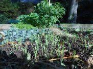 Petites pousses d'engrais verts