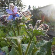 Dernières bourraches en fleur