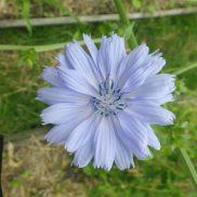 Fleur de chicorée.