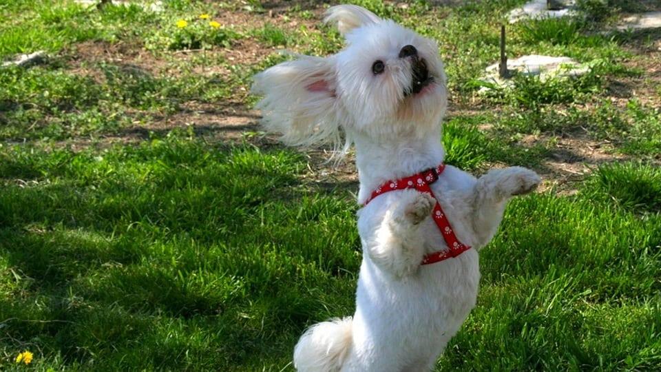 Dancing Dog courtesy of Pixabay