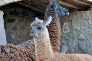 Peru-llamas