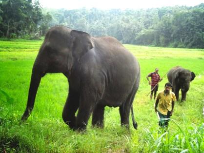 Pinnawala Elephant Orphanage - a real elephant sanctuary in Sri Lanka