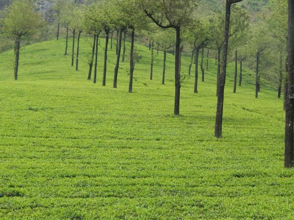 Tea Estate MTCR Munnar