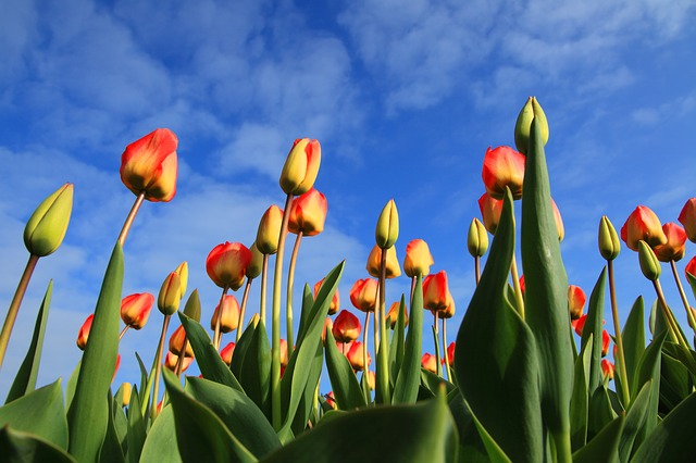 Dutch Experience: Tulips