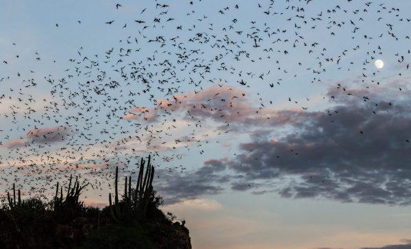 Los Mochis, Sinaloa, Mexico, Bats