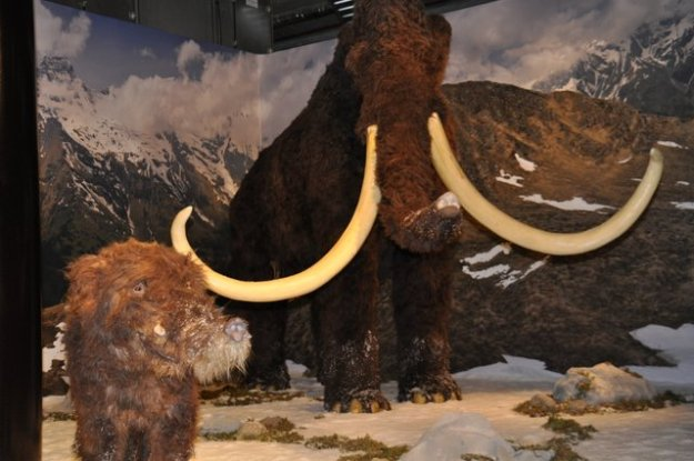 Mammoetexpert Dick Mol ''mammoeten hebben enorme slagtanden''