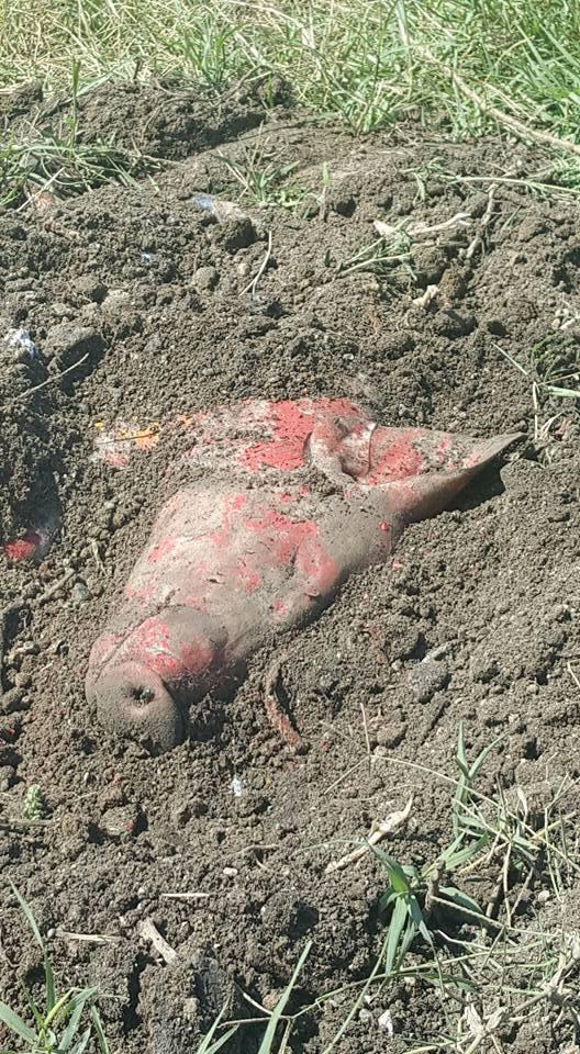 porc ingropat
