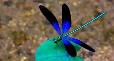 Imagini pentru libelulele