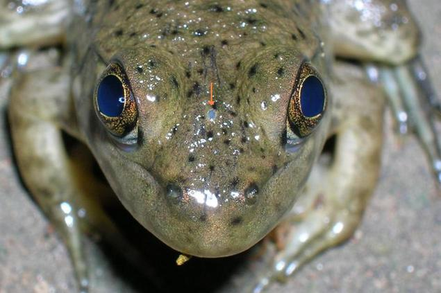 ochi-parietal-broasca