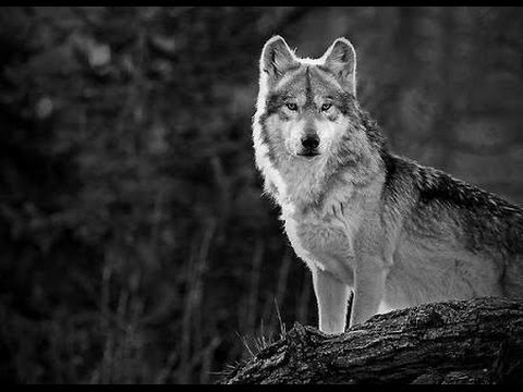 Fact Friday – Wolves