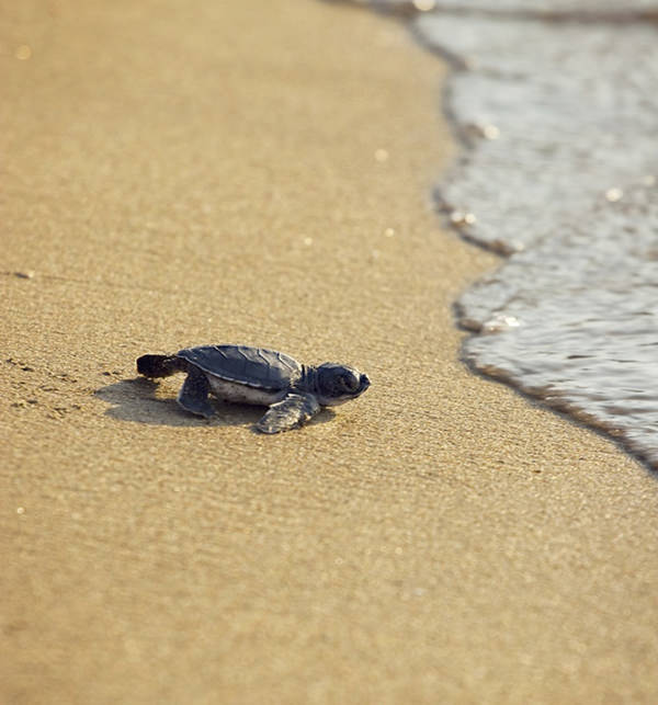 cupcake punk loggerhead sea turtle Kakushima island Japan